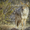 Desert And The Coyote by Elaine Malott