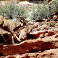 Desert Bighorn Ram Walking The Ledge by Dale E Jackson