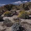 Desert Canyon Wildflower Bloom by Don Kreuter