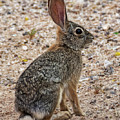Desert Cottontail 1822 by Mark Myhaver