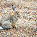 Desert Cottontail by Todd Klassy