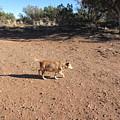 Desert Dog by Frederick Holiday