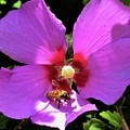Desert Hibiscus With Honey Bee by Lois Rivera