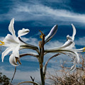 Desert Lilly Close Up by Jeremy McKay