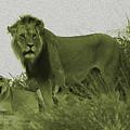 Desert Lions by Hennie Van Wyk