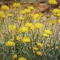 Desert Marigold Bouquet  by Saija Lehtonen