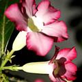 Desert Rose 7 by Everett Spruill