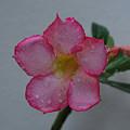 Desert Rose On White by John Roncinske