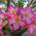 Desert Rose Or Chuanchom Dthb2105 by Gerry Gantt