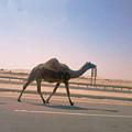 Desert Safari by Nilu Mishra
