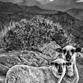 Desert Sheep by Blake Richards