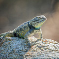 Desert Spiny Lizard 1298 by Tam Ryan