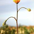 Desert Sun Flower by Chris Brannen