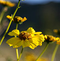 Desert Sunflower by Chris Brannen