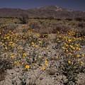 Desert Sunflowers by Don Kreuter