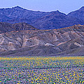 Desert Wildflowers, Death Valley by Panoramic Images