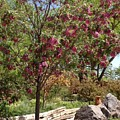 Desert Willow Tree by Sonja Lopez