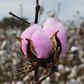 Designer Cotton by Rick McKinney