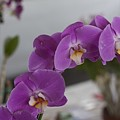 Dessert Orchids by Kevin  Sherf