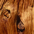 Detail Of Red Fir by Soli Deo Gloria Wilderness And Wildlife Photography