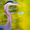 Details Of A Great Blue Heron  by Parker Cunningham