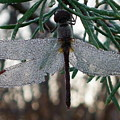 Dew Beaded Wings by Peggy King
