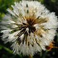 Dew Covered Dandelion by Kent Lorentzen