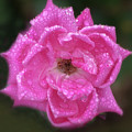Dew Covered Rose by Stephen Martin