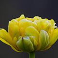 Dew Covered Yellow Tulip by Steve Samples
