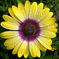 Dew Dropped Daisy by Brian Eberly