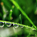 Dew Drops On Blade Of Grass by Vishwanath Bhat
