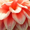 Dew -drops On The Dahlia 2  by Jane Powell