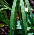 Dew Drops by Ravichandra Akaram