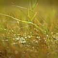 Dew by John Whitmarsh