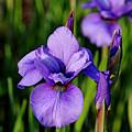 Dew Kissed Iris by Debbie Oppermann