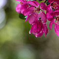 Dew On Blossoms by Beverly Tabet