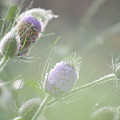 Dew On Thistles 1 by Merrill Miller