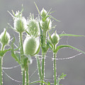 Dew On Thistles 3 by Merrill Miller