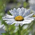 Dewdrop Daisy by Tina Hunt