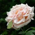 Dewdrops On A Rose by Addie Hocynec