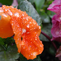Dewy Pansy 2 - Side View by Amy Fose