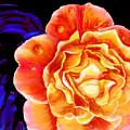 Dewy Peach Rose by Marcella Chapman