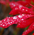 Dewy Petals by Amy Fose