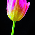 Dewy Pink Yellow Tulip by Garry Gay