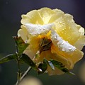 Dewy Yellow Rose 1 by Amy Fose