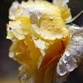 Dewy Yellow Rose 2 by Amy Fose
