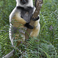 Diademed Sifaka by Michele Burgess