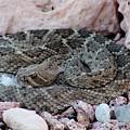 Diamondback Rattlesnake 062414a by Edward Dobosh