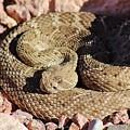 Diamondback Rattlesnake 062414f by Edward Dobosh