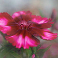 Dianthus Flower I by David and Carol Kelly